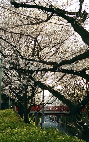 20130321_sakurazaka01.jpg
