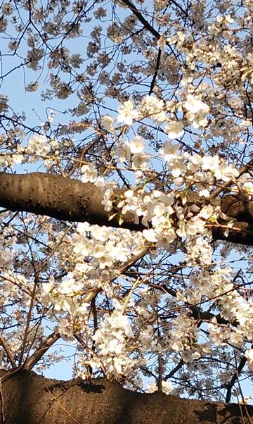 20130321_sakurazaka02.jpg