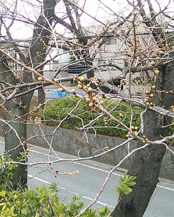20140321_sakurazaka01.jpg
