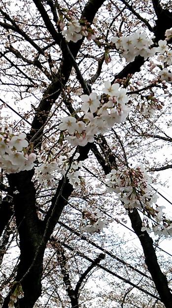 20140329_sakurazaka02.jpg