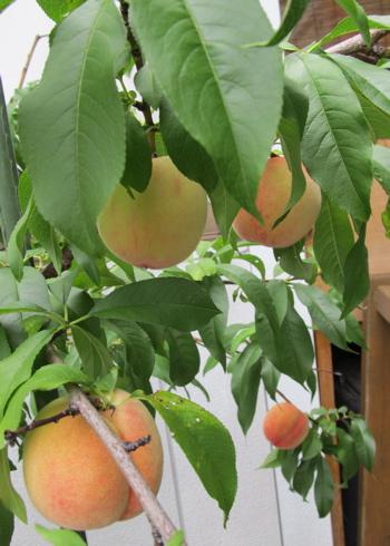 2014_peach02.jpg