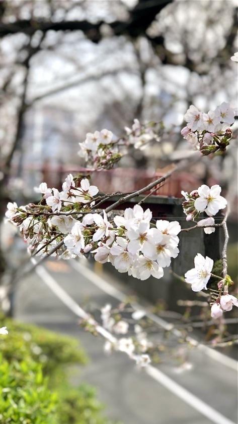 sakurazaka20200322_01.jpg