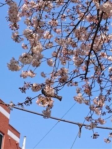 sakurazaka_20170404.jpg